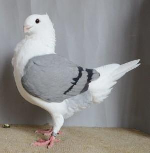 beste jonge duivin van Wierd de Boer - kopie