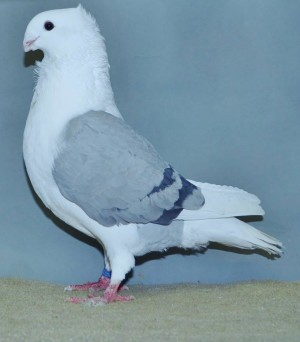 Fr. duivin jong. Fr. blauwschild zwartgeband 96 punten van G.G. Kok - kopie