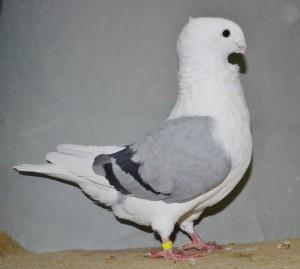 Fraaiste duivin oud.  Blauwschild zwartgeband  97 punten van Bertus Kok - kopie