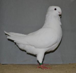 Fraaiste jong en fraaiste jonge duivin van de keistadshow. Wit V-J  97 punten van ad Schelling - kopie