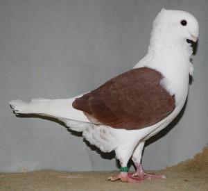 Fraaiste jonge duivin op 1 na. Roodschild 97 punten van Jan Kastelein - kopie