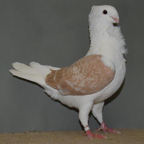Fraaiste duivin jong en fraaiste krasschild 97 punten van John de Groot