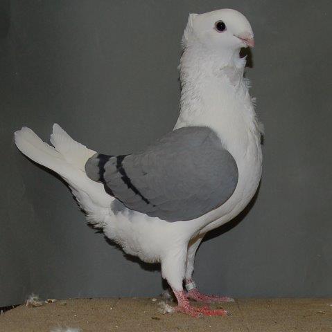 Fraaiste duivin jong op 1na en fraaiste blauwschild zwartgeband 97 punten van W. de Boer