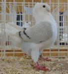 Beste jonge duivin op 1 na - Joop Fidder