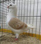 Geelzilverschild-jonge-duivin-Roel-Staats